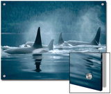 Orca (Orcinus Orca) Group Surfacing, Johnstone Strait, British Columbia, Canada Prints by Flip Nicklin/Minden Pictures