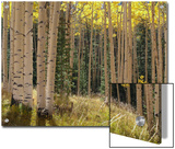 Grove of American Aspen Trees at Sunset in Autumn Prints by  Greg