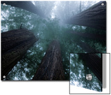 Coastal Fog Covers Redwood Treetops in the Lady Bird Johnson Grove Prints by Michael Nichols