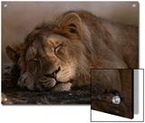 Asian Lion, Sleeping, Gir Forest, Gujarat State, India Prints by Mattias Klum