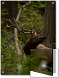 A Roosevelt Elk Bull in an Old Growth Redwood Forest Print by Michael Nichols