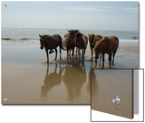 Wild Horses on the Beach in Assateague, Maryland Art by Stacy Gold