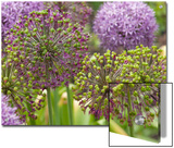Group of Allium Inflorescences with Flowers and Buds Prints by Darlyne A. Murawski