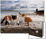 Two Cats Greet on a Wall Overlooking the Bay in Shapinsay Prints by Jim Richardson