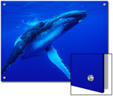 Humpback Whale (Megaptera Novaeangliae) Swimming, Underwater, Tonga Prints by Mike Parry/Minden Pictures