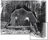 A Giant Sequoia Felled by Loggers in the Early 1900's Prints by  National Park Service