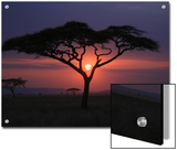 Sunset with Acacia Tree Art by Kevin O'Brien
