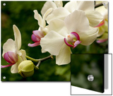 Close Up of White and Pink Moth Orchids, Phalaenopsis Species Prints by Darlyne A. Murawski