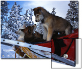 Siberian Husky Puppies Play on a Snow Sled Art by Nick Norman