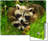 A Portrait of Two Raccoon Kits in Grass Prints by Terri Moore