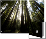 Bull Creek Flats, Home to Many of the Tallest Redwood Trees on Earth Posters af National Geographic Photographer