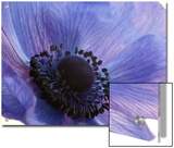 Close Up of a Blue Anemone Flower Prints by Darlyne A. Murawski