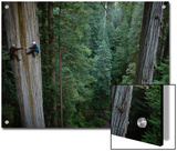 Botanists Take a Core Sample of a 350-Foot Giant Redwood Tree Posters by Michael Nichols