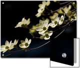 Close Up of a Pacific Dogwood Tree in Bloom Prints by Marc Moritsch