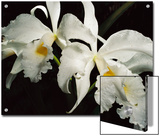 Orchid, Close-Up of White Flowers Wet with Rain, Atlantic Forest, Brazil Prints by Mark Moffett