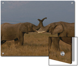 Two African Elephants Greet Each Other by Touching Trunks Prints by Michael Nichols