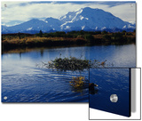 Beaver Hauls Willows to its Cache in the Shadow of Mount Mckinley, Alaska Posters by Michael S. Quinton