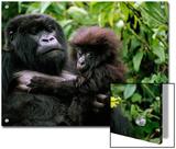 Female Mountain Gorilla and Her Child, Rwanda Print by Michael Nichols