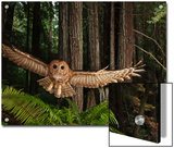 Tagged Northern Spotted Owl in a Redwood Forest Prints by Michael Nichols