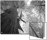 An over 300 Foot Giant Redwood Tree Poster by Michael Nichols