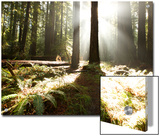 Bull Creek Flats, Home to Many of the Tallest Redwood Trees on Earth Plakater af National Geographic Photographer