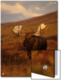 Willows Cling to Bull Moose's Antlers, Alaska Prints by Michael S. Quinton