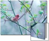 A Purple Finch, Carpodacus Purpureus, Perched in a Tree in Heavy Fog Print by Bates Littlehales