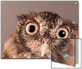 Eastern Screech Owl, Lincoln, Nebraska Prints by Joel Sartore