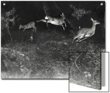 Deer Leap in Earliest Nighttime Flash Photography Shot Print by George Shiras