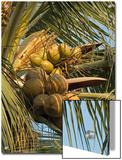 Coconuts Cluster at Los Tules Resort in Puerto Vallarta, Mexico Prints by Rich Reid