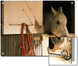 White Horse Sticks his Head Out of his Stall Prints by Kate Thompson