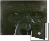 Western Lowland Gorilla from the Sedgwick County Zoo, Kansas Prints by Joel Sartore