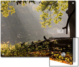 A Western Jackdaw, Corvus Monedula, in a Misty Autumn Landscape Art by Alex Saberi