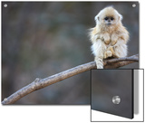 A Golden Snub-Nosed Monkey Infant Perches in a Highland Forest Posters by Cyril Ruoso
