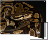 Ball Python at the Sunset Zoo in Manhattan, Kansas Prints by Joel Sartore