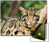 Portrait of a Clouded Leopard, Neofelis Nebulosa, a Vulnerable Species Prints by Paul Sutherland