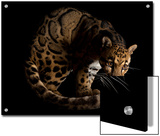 An endangered clouded leopard, Neofelis nebulosa, at the Houston Zoo. Prints by Joel Sartore