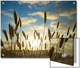 Wild Wheat Growing on the Shores of Lake Alexandrina, Sa Posters by Brooke Whatnall