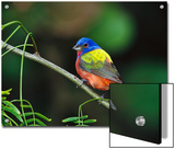 Painted Bunting (Passerina Ciris) Perching, Texas Poster by Tom Vezo/Minden Pictures