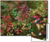Blueberry (Vaccinium Myrtillus) Bush Fruiting, Ural Mountains, Pechora-Ilych Reserve, Russia Posters by Konrad Wothe