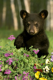 Captive Black Bear Cub Playing in Flowers Minnesota Photographic Print by  Design Pics Inc