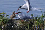 Arctic Terns Feeding Chick at Potter Marsh During Spring in Southcentral Alaska Photographic Print by  Design Pics Inc