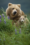 Sow Grizzly and Cubs in Grass Hallo Bay Katmai Np Alaska Fotografisk tryk af  Design Pics Inc