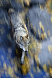 Overhead View of a Wolf Running with Motion Blur During Autumn in Alberta, Canada Photographic Print by  Design Pics Inc