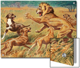 Rhodesian Ridgebacks Corral a Lion for a Hunter Prints by Walter Weber