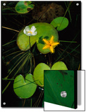 Heart-Shaped Water Lily Leaves and Delicate Blossoms Print by Steve Winter