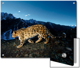 A snow leopard traverses a rocky slope Posters by Steve Winter