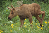 Cow Moose and Calf Together in Anchorage Neighboorhood Summer Southcentral Alaska Photographic Print by  Design Pics Inc