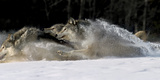 Pack of Grey Wolves Running Through Deep Snow Captive Ak Se Winter Photographic Print by  Design Pics Inc