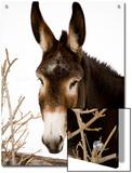 Portrait of a Mule in Fresh Snow Posters by Stephen St. John